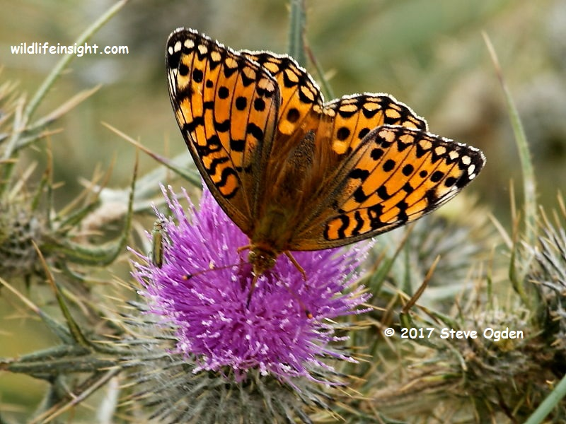 Dark Green Fritillary butterfly nectaring at thistle head