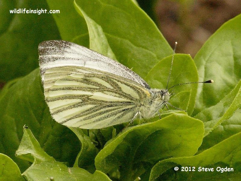 Green-veined White female Butterfly on spinach © 2012 Steve Ogden