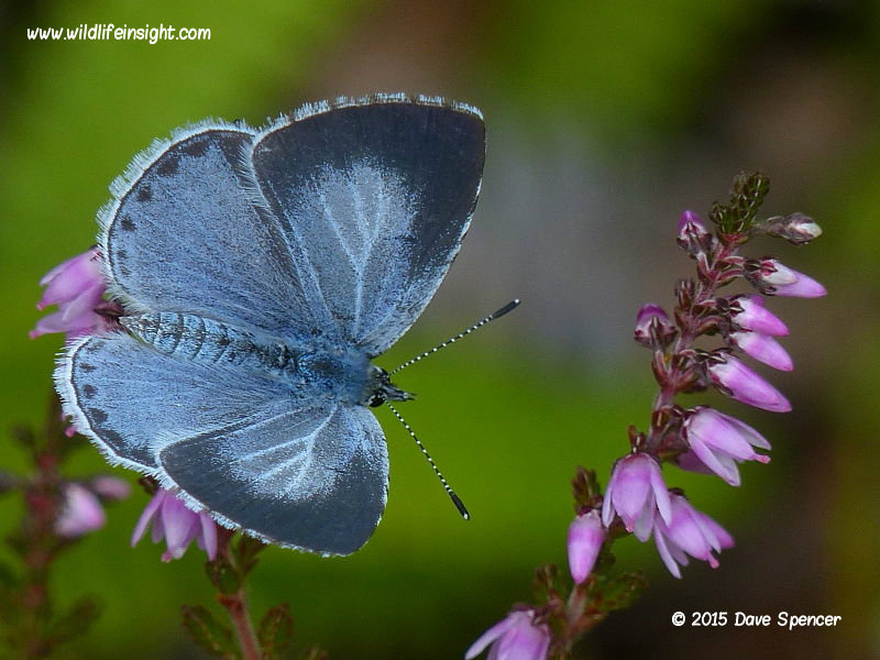Second generation female Holly Blue butterfly on heather second generation © 2015 Dave Spencer
