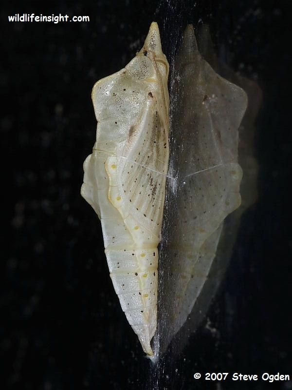 Green-veined White Butterfly chrysalis pale form (Pieris napi) © 2007 Steve Ogden