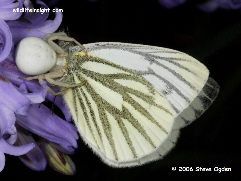 Green-veined White Butterfly and Crab Spider © 2006 Steve Ogden