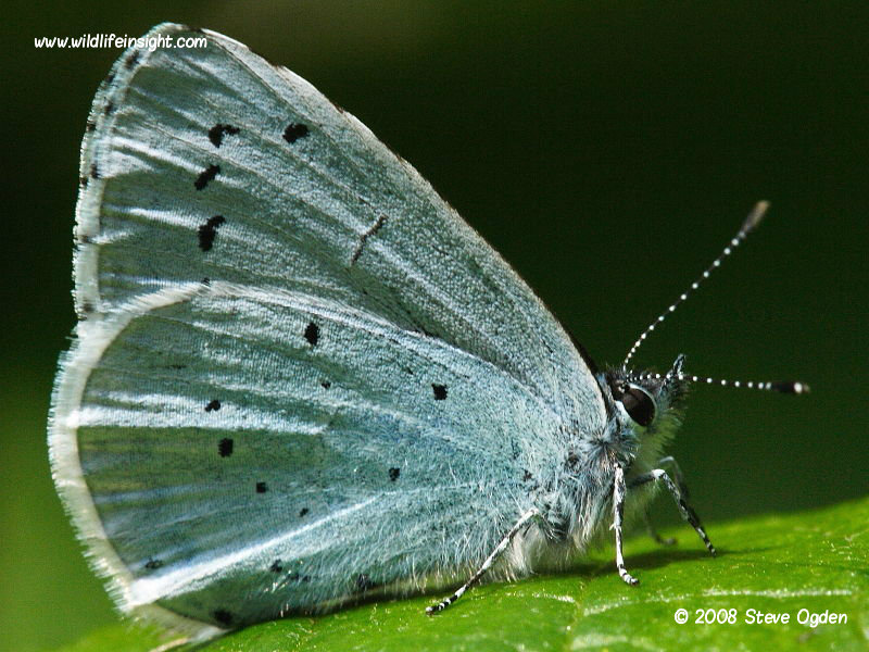 Holly Blue butterfly nectaring on aphid honeydew © 2008 Steve Ogden
