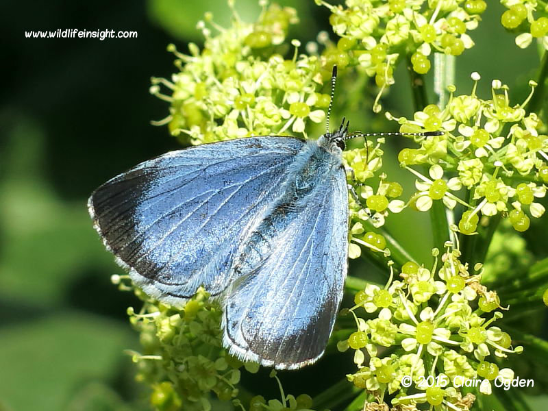 Holly Blue female butterfly (Celastrina argiolus) first generation nectaring © 2015 Claire Ogden
