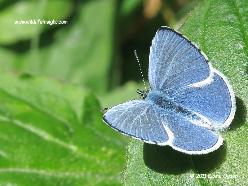 Holly Blue butterfly male (Celastrina argiolus) April first generation © 2011 Claire Ogden