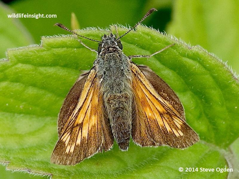 Female Large Skipper butterfly