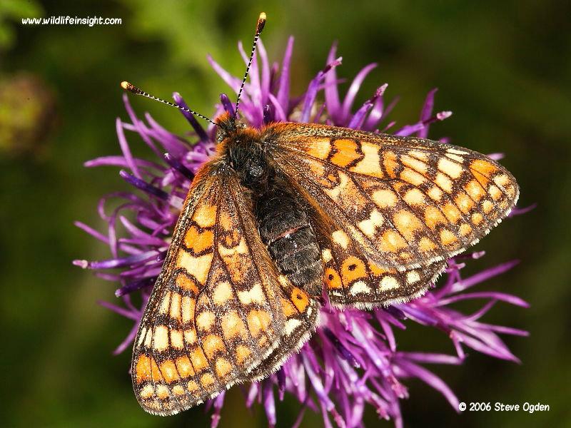 Marsh Fritillary butterfly feeding on knapweed