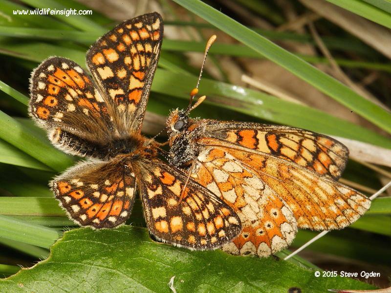 Marsh Fritillary courting-butterflies-Euphydryas-aurina