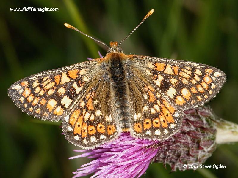 Marsh Fritillary butterfly nectaring on knapweed
