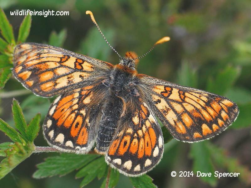 Marsh Fritillary butterfly aberration