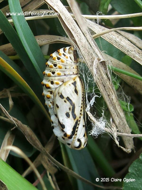Chrysalis of Marsh Fritillary butterfly