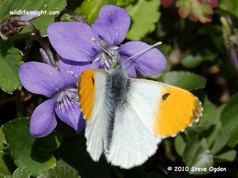 Orange-tip Butterfly (Anthocharis cardamines) male nectaring on violets © 2010 Steve Ogden