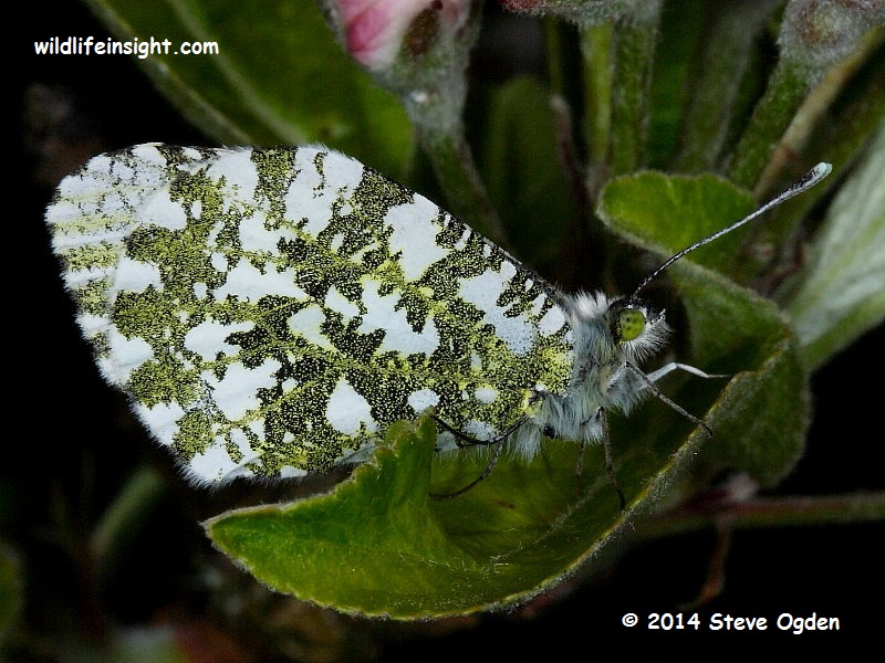 Orange-tip Butterfly (Anthocharis cardamines) female © 2014 Steve Ogden