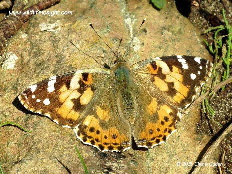 Painted Lady Butterfly Kynance Cove  22 Nov © 2015 Claire Ogden