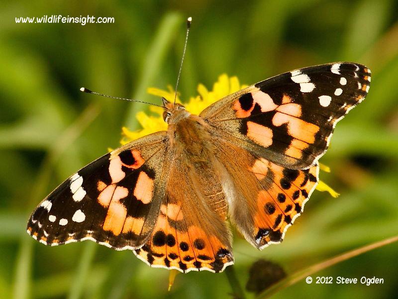 Painted Lady butterfly, Vanessa cardui | Wildlife Insight