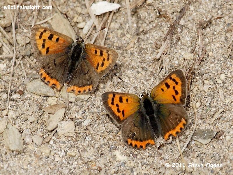 Pair of Small Copper Butterflies (Lycaena phlaeas) © 2011 Steve Ogden
