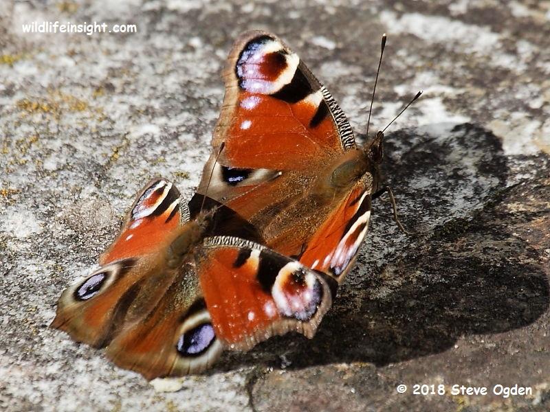 Pair of Peacock butterflies (Inachis io) in Falmouth garden © 2018 Steve Ogden