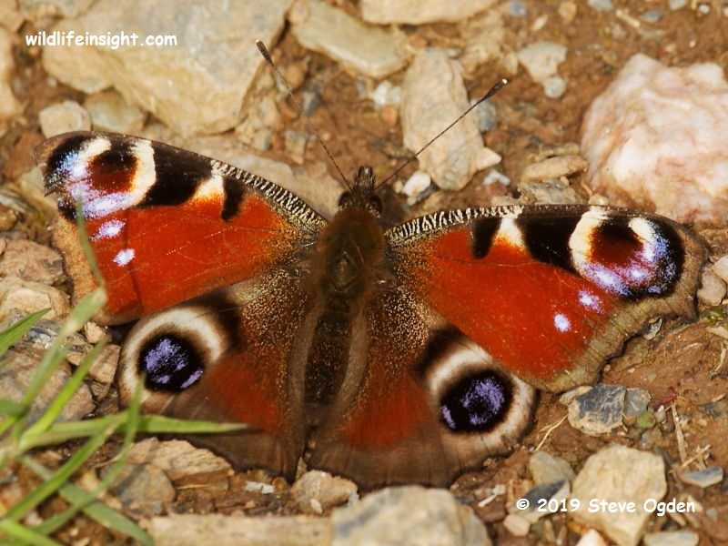 Peacock butterfly  (Inachis io) February Kynance Cove  © 2019 Steve Ogden