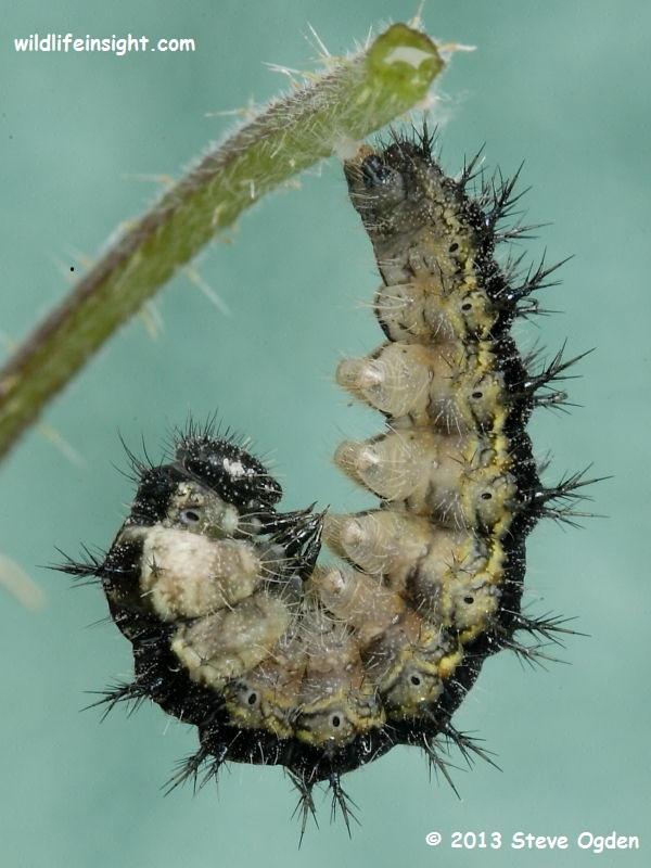 Pupating Small Tortoiseshell caterpillar (Aglais urticae) © 2013 Steve Ogden