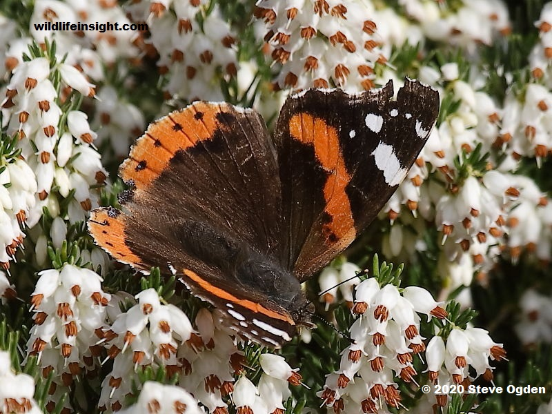 Red Admiral butterfly feeding on flowering winter heather in February.