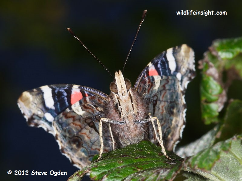 Red Admiral butterfly (Vanessa atalanta) Cornwall © 2012 Steve Ogden