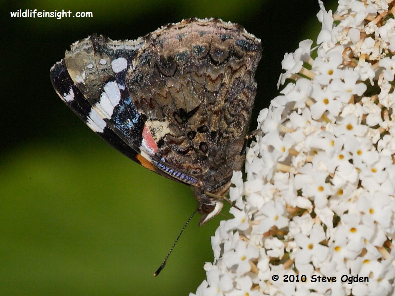 Red Admiral butterfly (Vanessa atalanta) nectaring on buddleia Cornwall © 2010 Steve Ogden