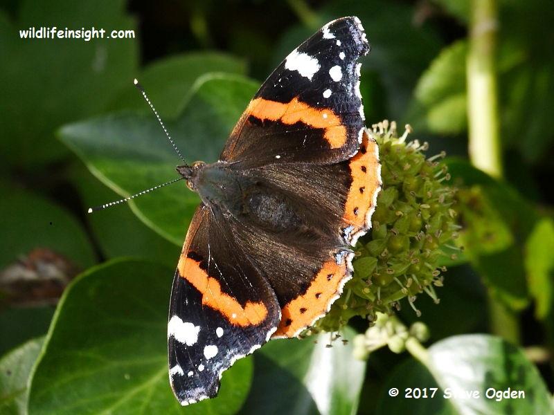 Red Admiral butterfly (Vanessa atalanta) nectaring on ivy Cornwall © 2017 Steve Ogden