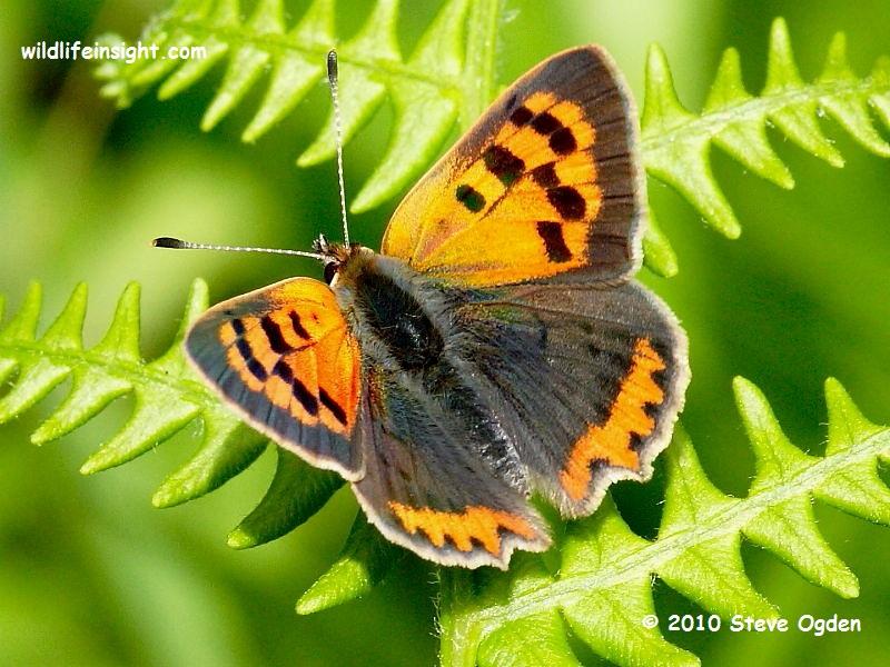 Small Copper Butterfly (Lycaena phlaeas) © 2010 Steve Ogden