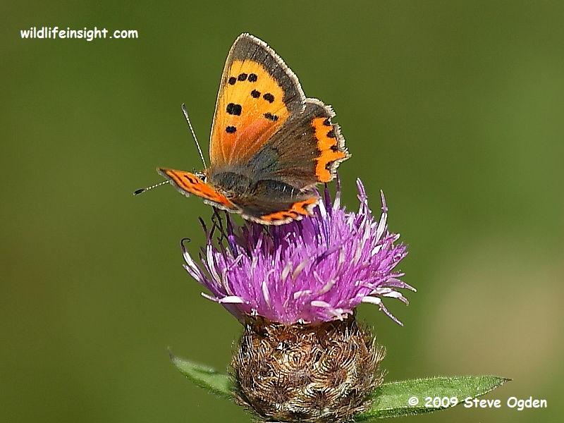 Small Copper Butterfly (Lycaena phlaeas) © 2009 Steve Ogden