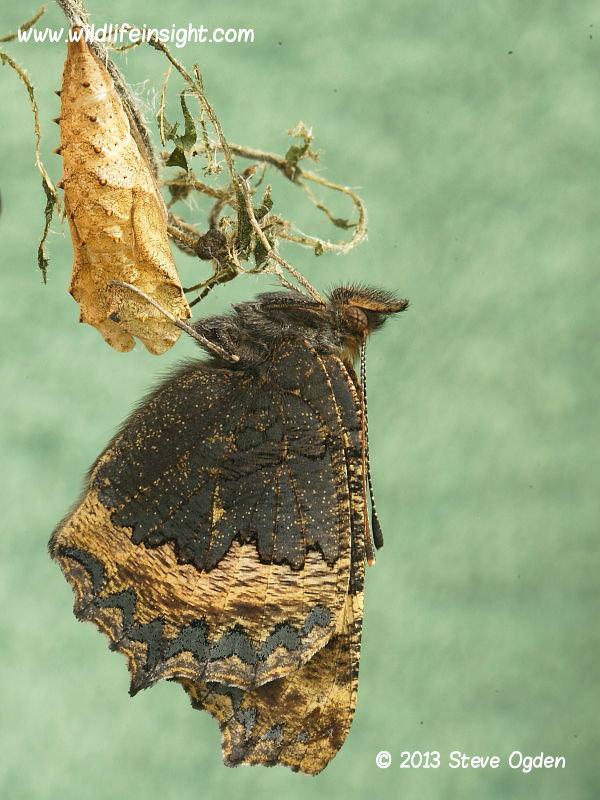 Newly emerged Small Tortoiseshell (Aglais urticae) butterfly © 2013 Steve Ogden