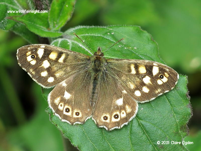 Speckled Wood Butterfly (Pararge aegeria) © 2015 Claire Ogden