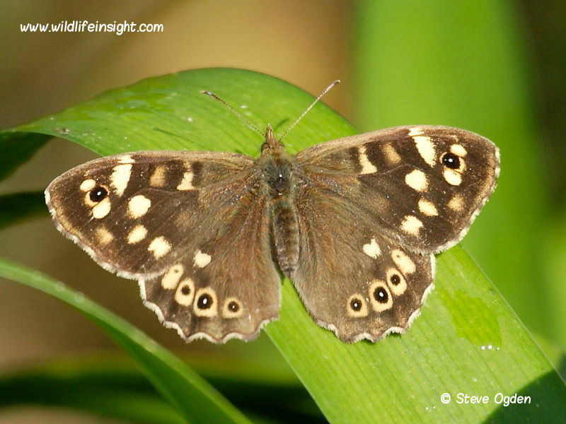 Speckled Wood Butterfly (Pararge aegeria) © 2014 Steve Ogden