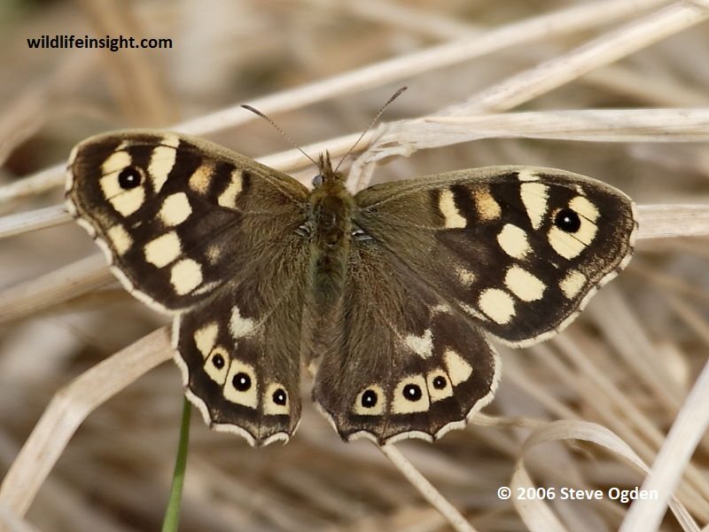 Speckled Wood butterfly (Pararge aegeria) © 2006  Steve Ogden