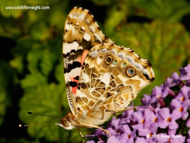 Painted Lady butterfly 0662