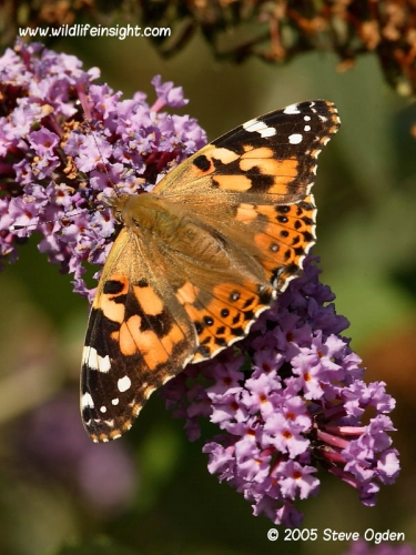 Painted Lady butterfly 0683