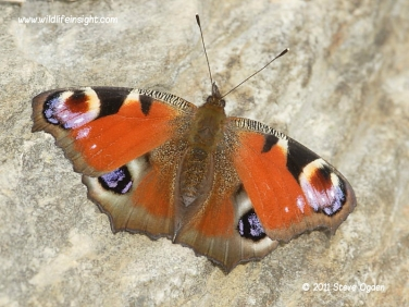 Peacock butterfly (Inachis io) © 2011 Steve Ogden