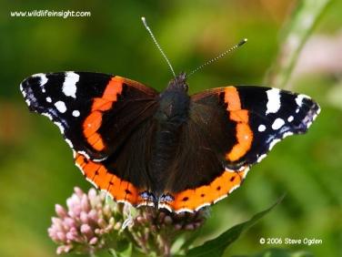 1590 Red Admiral butterfly (Vanessa atalanta)