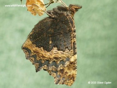 Small Tortoiseshell butterfly 4380