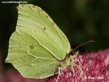 Brimstone butterfly (Gonepteryx rhamni) nectaring on sedum