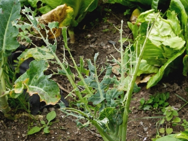 Cabbage eaten by the caterpillars of Large White Butterfly (Pieris brassicae)