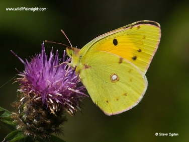 Clouded Yellow Butterfly (Colias croceus) nectaring