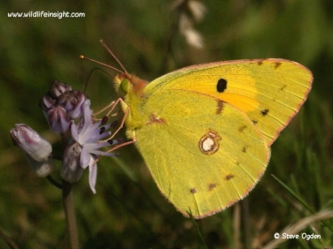 Clouded Yellow Butterfly (Colias croceus) nectaring on Autumn Squill