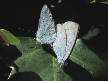 Holly Blue (Celastrina argiolus) - pair