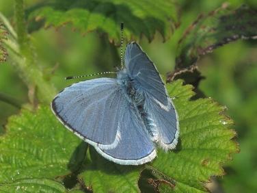Holly Blue (Celastrina argiolus) - male