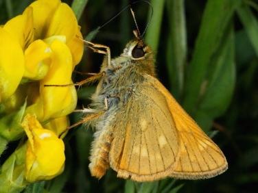 Large Skipper butterfly (Ochlodes faunus) female nectaring