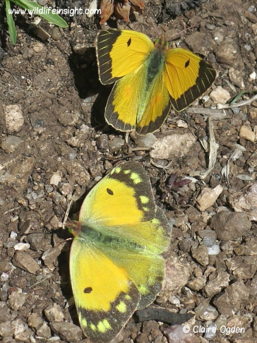 Male and female clouded yellow butterflies (Colias croceus) courting