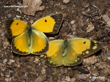 Clouded Yellow butterflies (Colias croceus) male and female courting © Steve Ogden