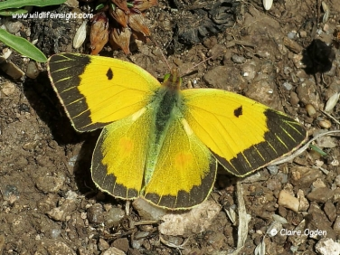 Male clouded yellow butterfly (Colias croceus)