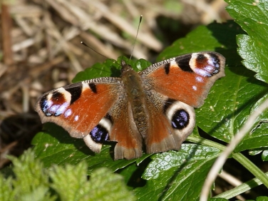 Peacock butterfly (Inachis io) emerges from hibernation to bask in sun in between Cornish storms