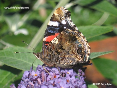 Red Admiral butterfly (Vanessa atalanta) nectaring on buddleia