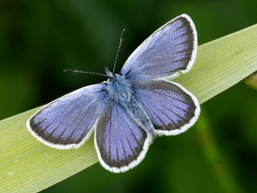 Silver-studded Blue (Plebejus argus) - male